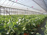 greenhouse_for_strawberry