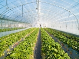 strawberry_greenhouse