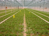 tomatejungpflanzen